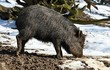 wild boar in the winter