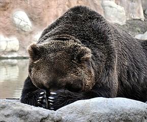 brown bear at the lake