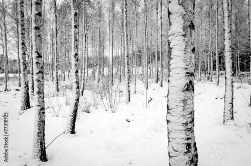 Staande foto Scandinavië Birch tree forest in winter