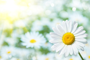 Natural background with daisies in the sun