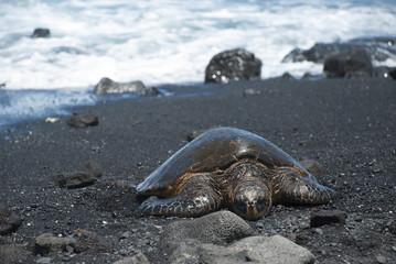 Turtle Crawling on Shore, Hawaii
