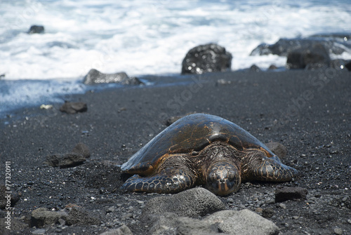 Foto op Canvas Schildpad Turtle Crawling on Shore, Hawaii