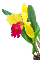 Cattleya orchid isolated on a white background