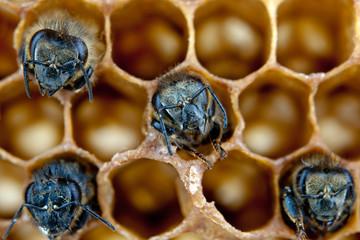 yong bees