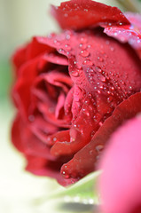 Red rose closeup with drop