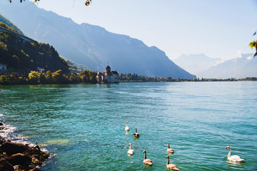 View of Geneva lake with swans and Chillion castle, Switzerland