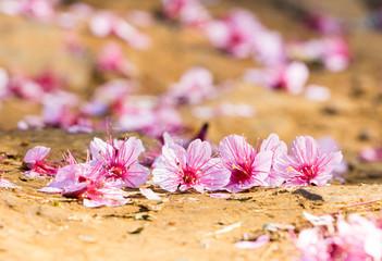 pink prunus