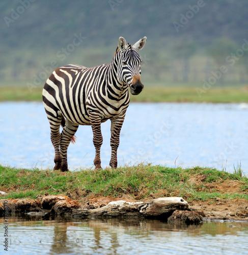 Foto op Plexiglas Zebra Zebra