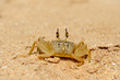 Marine crab on beach
