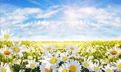 Frühlingserwachen: Margeriten-Wiese :)
