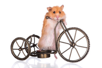 adorable syrian hamster on a bicycle