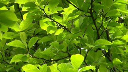 Leaves of a tulip tree, which move in the wind