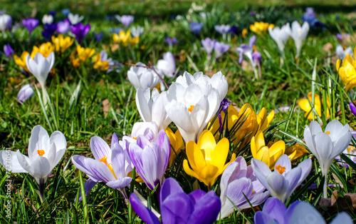 Fotobehang Krokus Frühlingserwachen mit bunter Krokus-Wiese :)