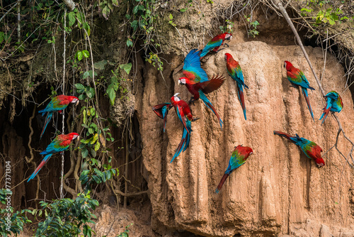 Fotobehang Zuid-Amerika land macaws in clay lick in the peruvian Amazon jungle at Madre de Di