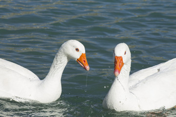 two white geese on the lake