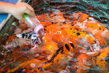 feeding hungry carp fish
