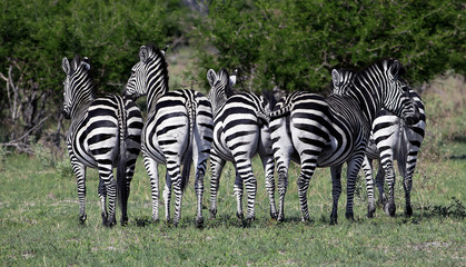 Few mountain zebras on the grass field in Namibia
