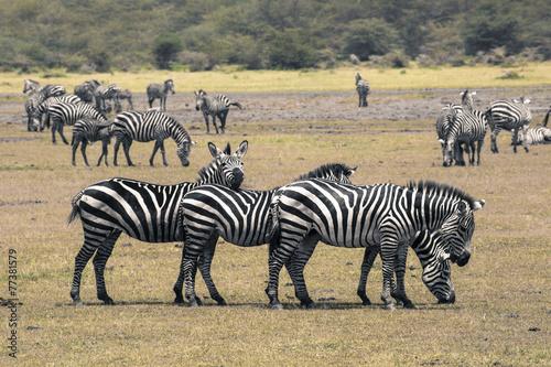 Fotobehang Zebra Zebra in National Park. Africa, Kenya