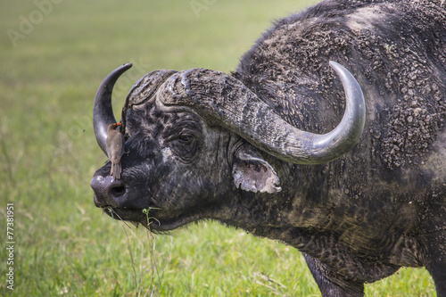 Aluminium Buffel African buffalo (Syncerus caffer) on the grass.