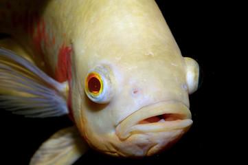 Portrait of oscar fish