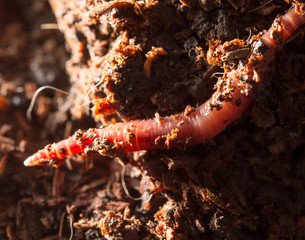 red worms in compost - bait for fishing