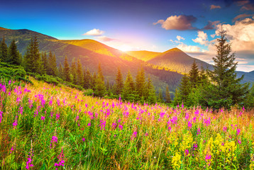 Colorful summer sunrise in the mountains with pink flowers