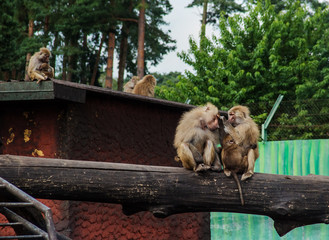 family of baboons