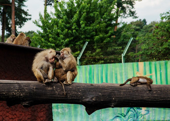 the family of baboons on