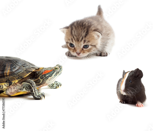 Foto op Canvas Schildpad kitten, turtle and guinea pig on a white background isolated