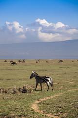 Giovane Zebra,Kenya.