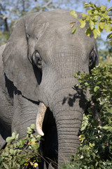 Close up of african elephant