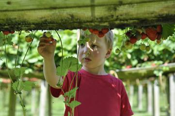 Boy picking up strawberries