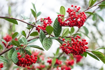 red elder-berry on bush