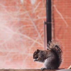 Canada, Montreal, Squirrel