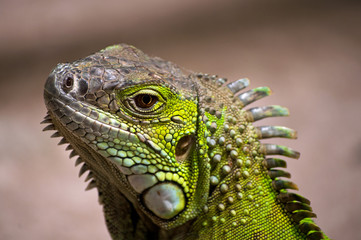 South Africa, Western Cape, Close-up of iguana lizard
