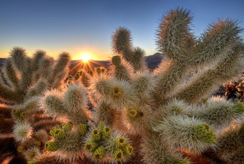 USA, California, Joshua Tree National Park, Chollas Garden at Sunrise