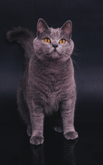 Portrait of british shorthair cat