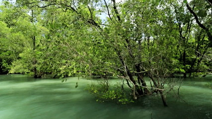 Mangrove Forests beauty in nature, Thailand