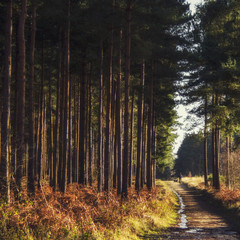 Tall trees along dirt road