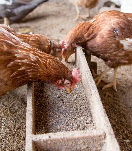 Foto op Plexiglas Kip chicken farm