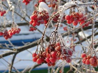 Frozen viburnum berries