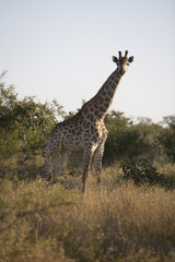 South Africa, Kruger National Park, Giraffe in safari