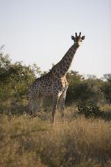 South Africa, Kruger National Park, Giraffe in safari