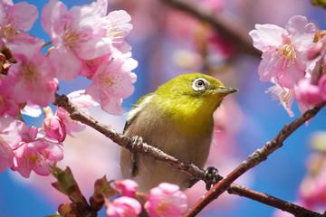 Japan, Chita, Okazaki, Mejiro (Japanese White-Eye) among Cherry blossoms (sakura)