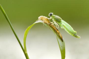 Indonesia, Pontianak, Baby dragonfly