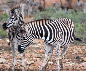 Eastern Cape, South Africa, Zebra With Young