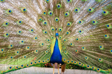 Peacock displaying plumage