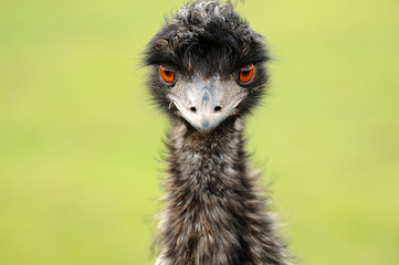 Emu staring straight at the camera