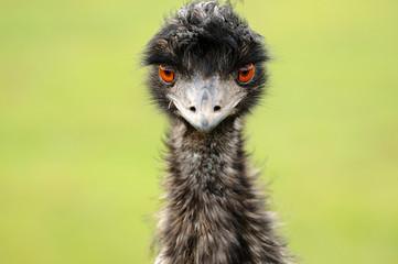 Emu staring straight at the camera