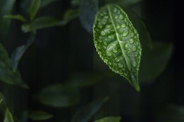 Malaysia, Cameron Highland, Close-up of wet tea leaf